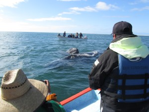 mama and baby gray whale